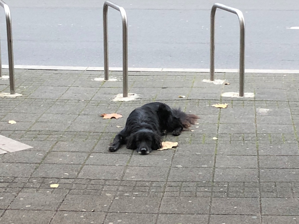 セルビアベオグラードの道路で座っている犬